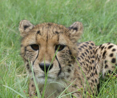 "<em>""The coolest thing about the cheetahs is that they don't really roar like a lion but kind of meow like a kitty. They look cute, but they are still wild and you have to respect them."" says Tiffany Sindel.</em>"